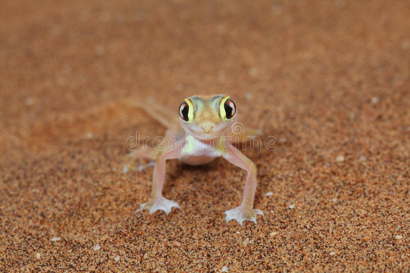 Palmato gecko lizard front view. Macro of a Palmato gecko taken in the Nambib desert in Nambian, Southern Africa royalty free stock image