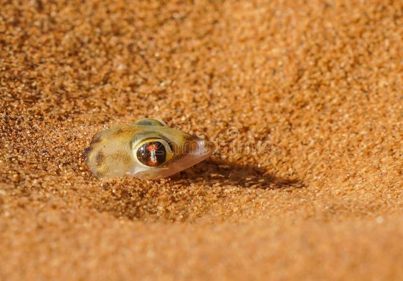 Palmato-Gecko nahe Dünen bei verstecktem Vlei Sossosvlie, Namibia lizenzfreies stockbild