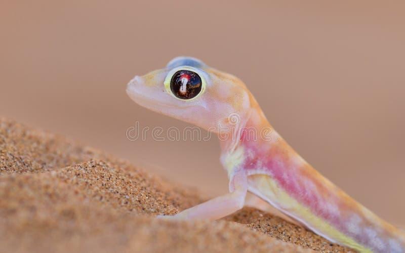 Palmatogecko (rangei di Pachydactylus), anche conosciuto come il GE palmipede fotografie stock