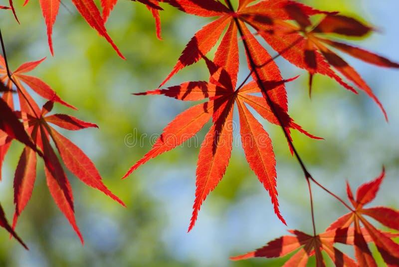 Palmatum d'Acer, g?n?ralement connu sous le nom d'?rable palmate, ?rable japonais ou Japonais-?rable lisse photographie stock