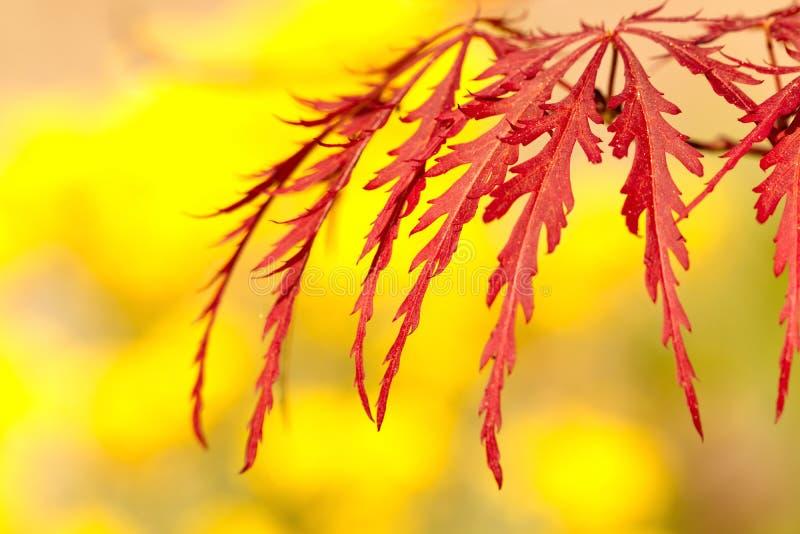 Palmatum de Acer del arce japonés con un fondo amarillo fotografía de archivo