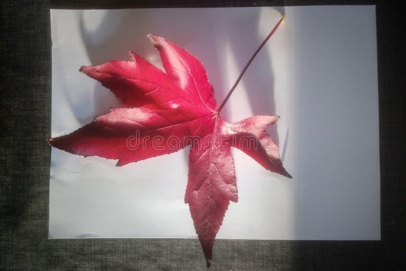 Palmatum rojo grande de Acer de la hoja de arce en el fondo blanco imagenes de archivo