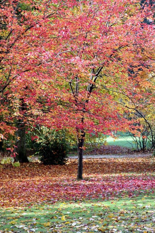 Palmatumboom van Acer royalty-vrije stock fotografie