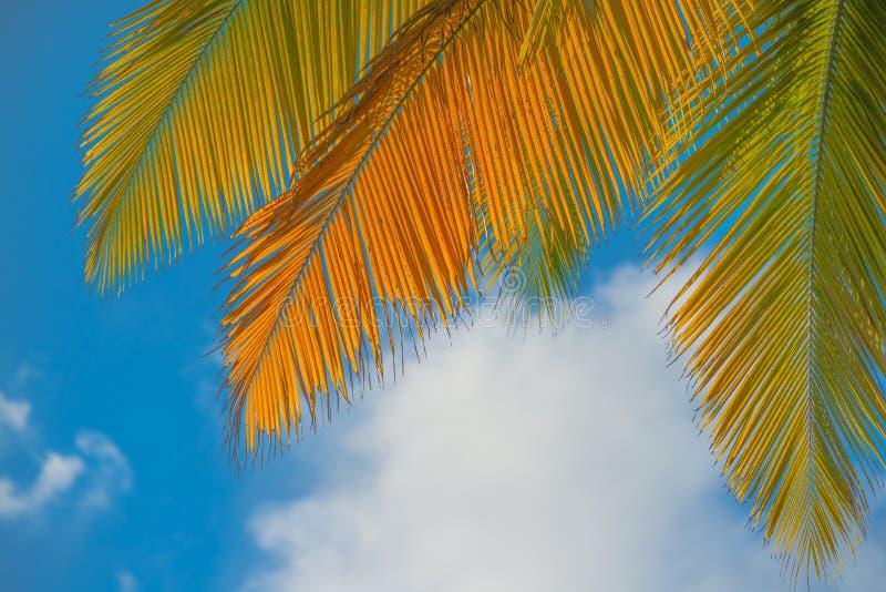 Palmblätter mit einem schönen blauen Himmel und flaumigen Wolken im Hintergrund - eingelassenes Dominica vor Hurrikan-Maria-Zerst lizenzfreie stockfotografie