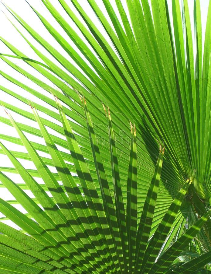 Palmblad arkivfoto