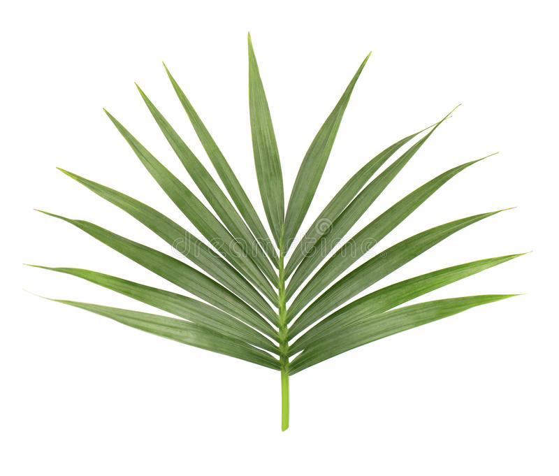 Palmblad dat op witte achtergrond wordt geïsoleerde Close-up van een tak van de kokospalm Groen tropisch blad stock afbeeldingen
