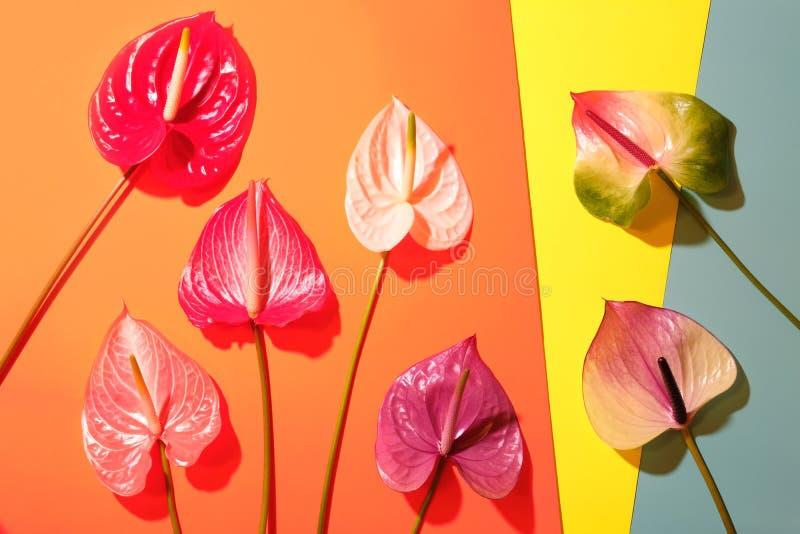 Palmblad med färgrika anthuriumblommor på moderiktig färgrik bakgrund royaltyfri bild