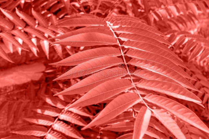 Palmblad på ljus bakgrund Bo Coral Color av året 2 fotografering för bildbyråer