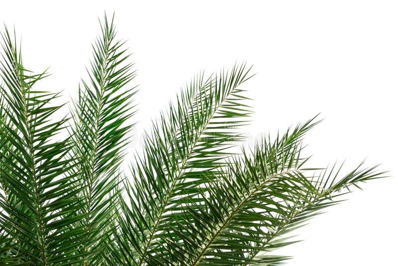Palmblad som isoleras på vit bakgrund för dekor ditt projekt royaltyfri bild