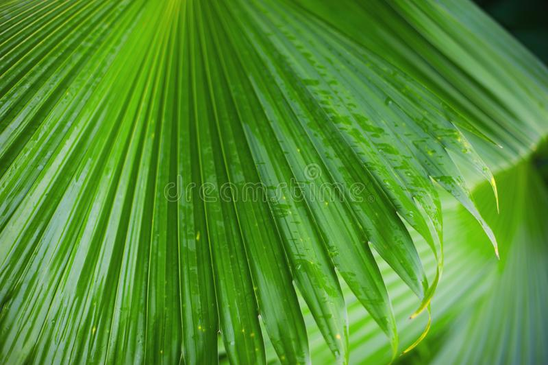 Palmbladbakgrund, härligt träd, palmsöndag arkivfoton