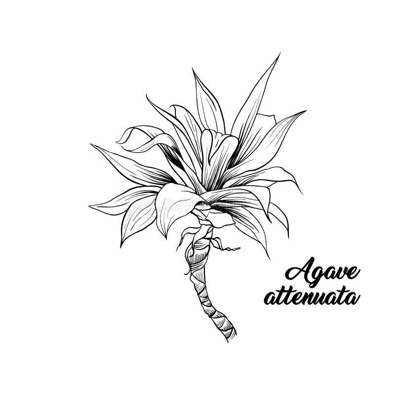 Palmbladen, de getrokken gravure van agaveattenuata hand vector illustratie