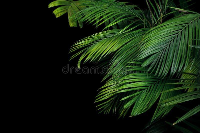 Palmbladen, het tropische installatie groeien in wildernis op zwarte backgro royalty-vrije stock foto's