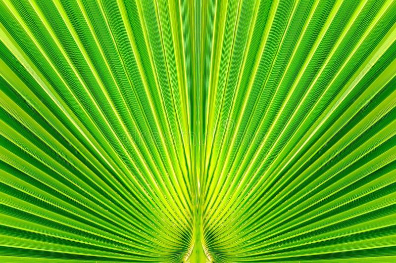 Palmblatt in den tropischen Ländern auf dem Hintergrund des hellen Lichtes der Sommersonne, grüne gestreifte Beschaffenheit für E lizenzfreie stockbilder