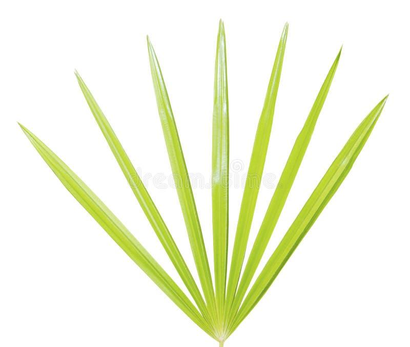 Palmblatt getrennt stockbilder