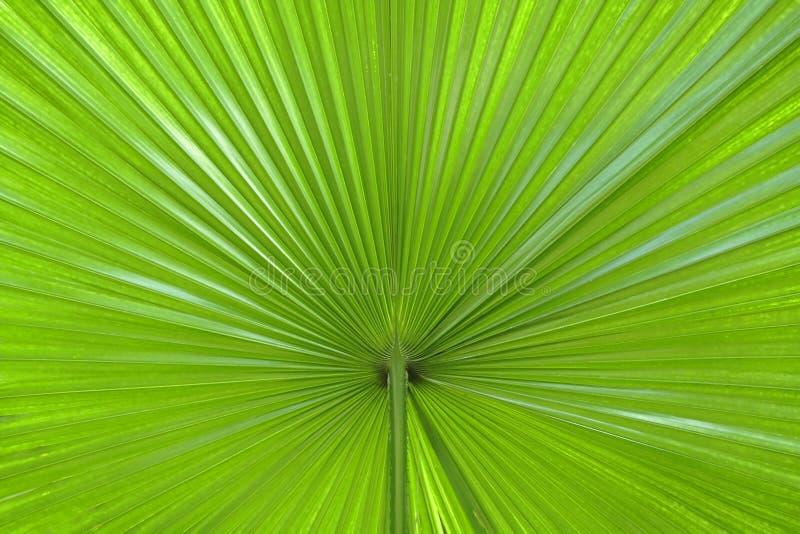Palmblattauszug lizenzfreies stockfoto