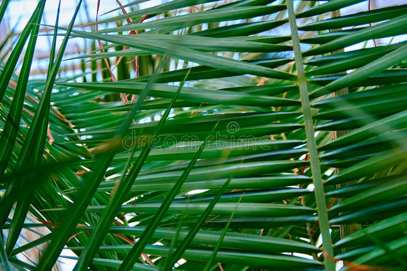 Palmblatthintergrund für Naturgrünentwurf stockfotos