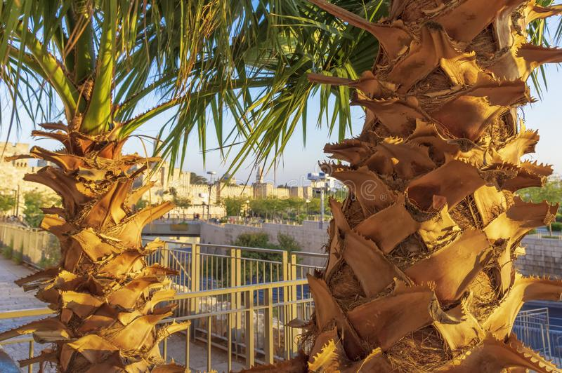 Palmboomstammen en gedeeltelijk groene bladeren van de kroon tegen de achtergrond van de vage muren van de oude stad stock foto's
