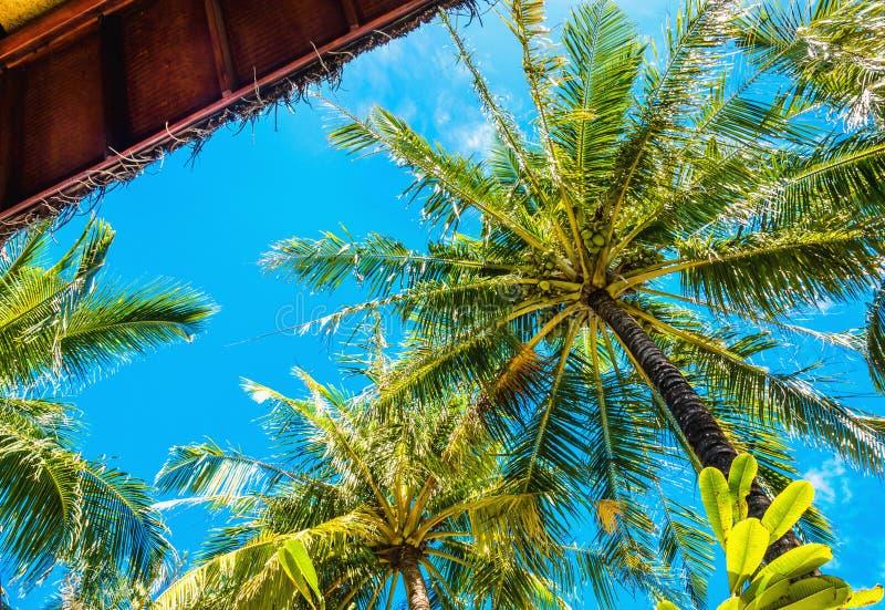Palme alte esotiche vedute da sotto e cielo blu immagini stock libere da diritti