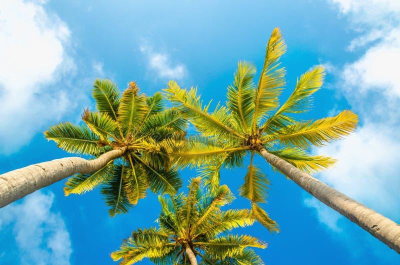 Palme alte esotiche vedute da sotto su un fondo di cielo blu immagini stock