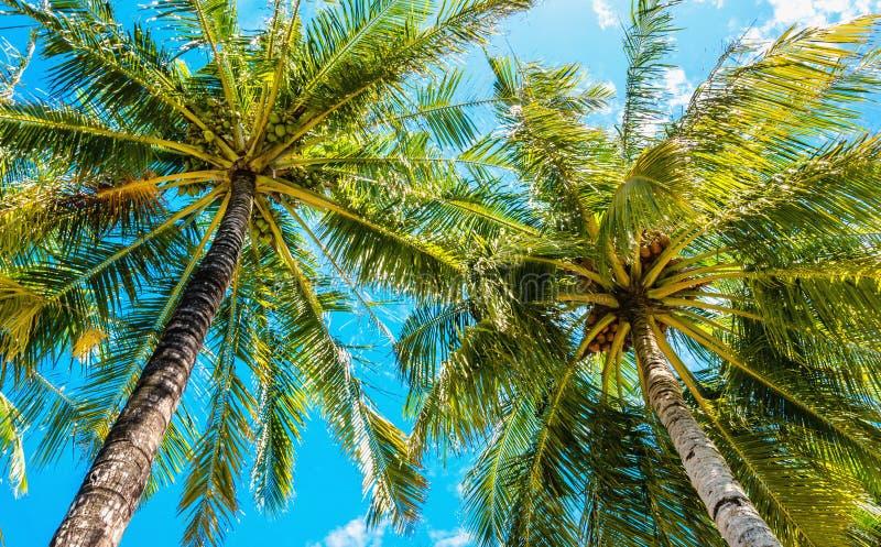 Palme alte esotiche vedute da sotto su un fondo di cielo blu fotografia stock