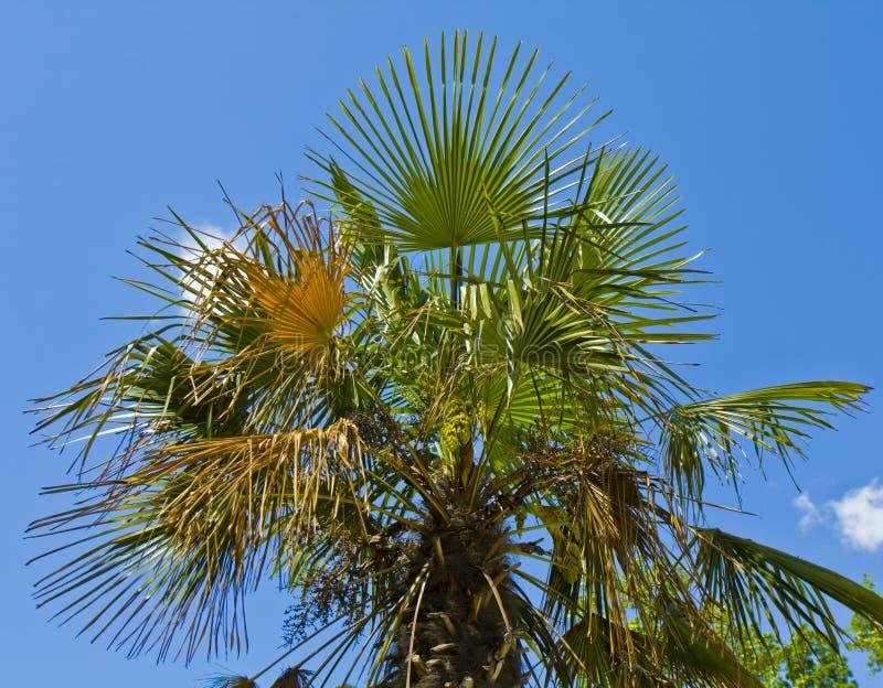 Palme auf Himmel stockbilder