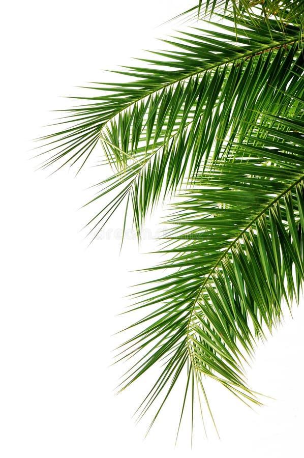 Palme-Blatt stockfotografie