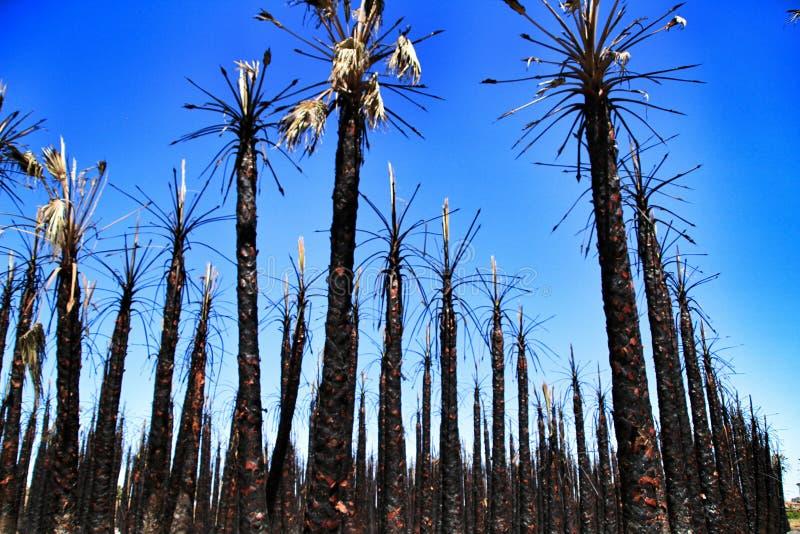 Palme californiane bruciate da fuoco fotografie stock libere da diritti