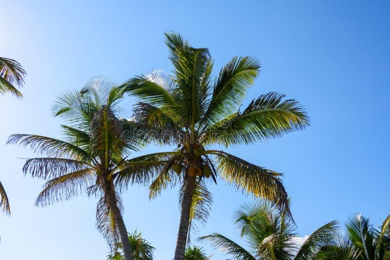 Palme con le noci di cocco su un fondo del cielo blu Roatan, Honduras fotografia stock libera da diritti