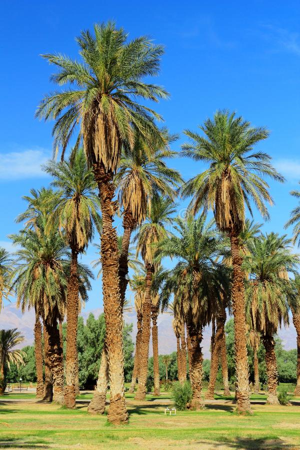 Palme da datteri all'insenatura della fornace, parco nazionale di Death Valley, California immagine stock libera da diritti