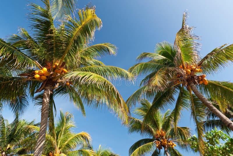 Palme della noce di cocco