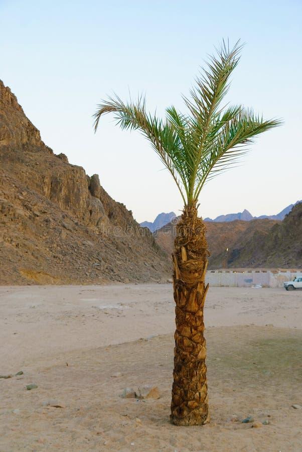 Palme in der Wüste stockfoto