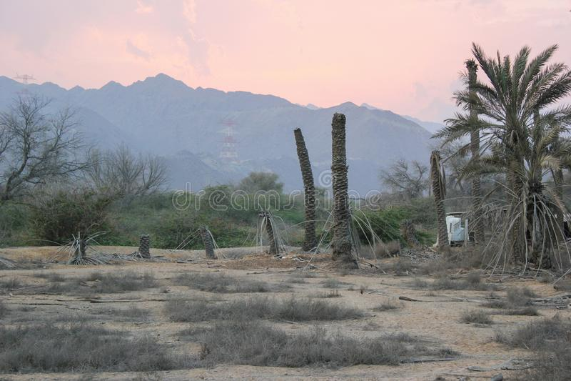 Palme di morte nel deserto immagini stock