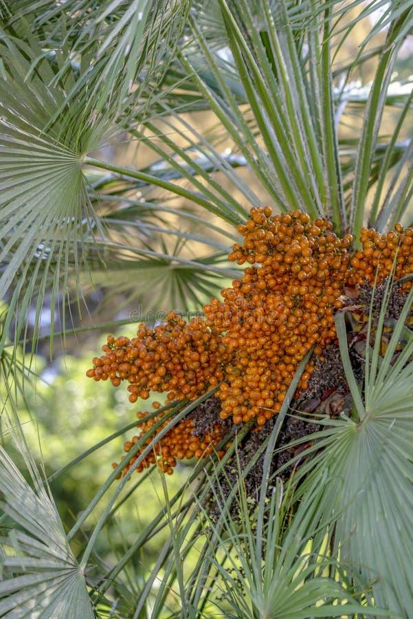 Palme-Früchte lizenzfreie stockfotos