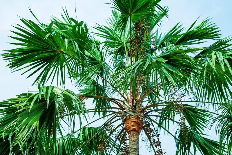 Palme gegen blauen Himmel Gr?ne Palmbl?tter stockbilder