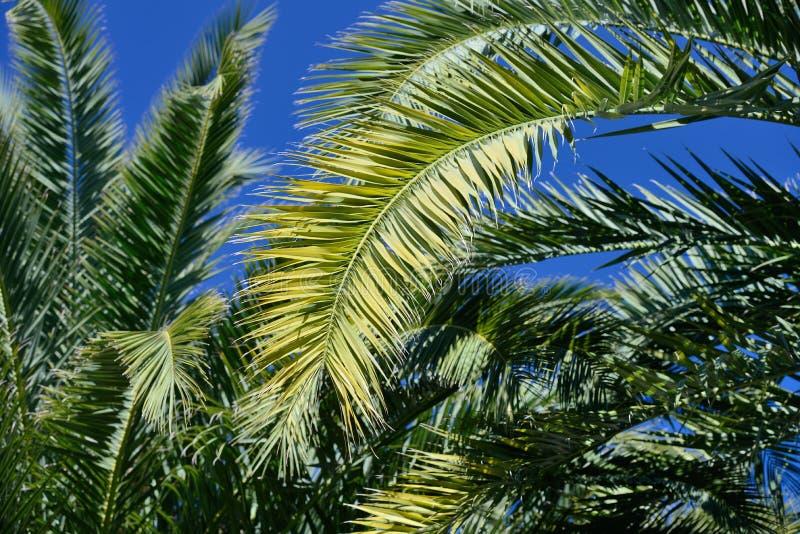 Palme gegen den blauen Himmel stockfoto