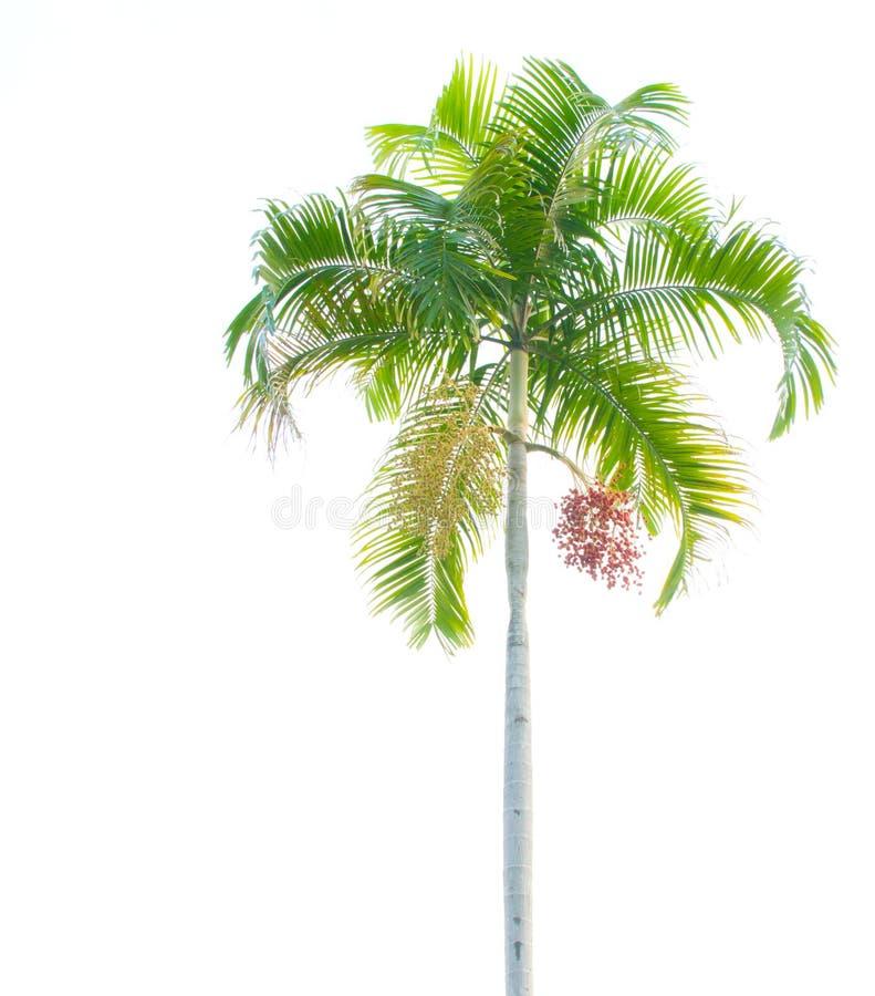 Palme getrennt auf Weiß lizenzfreie stockfotografie