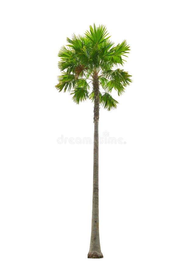 Palme getrennt auf Weiß stockfotos