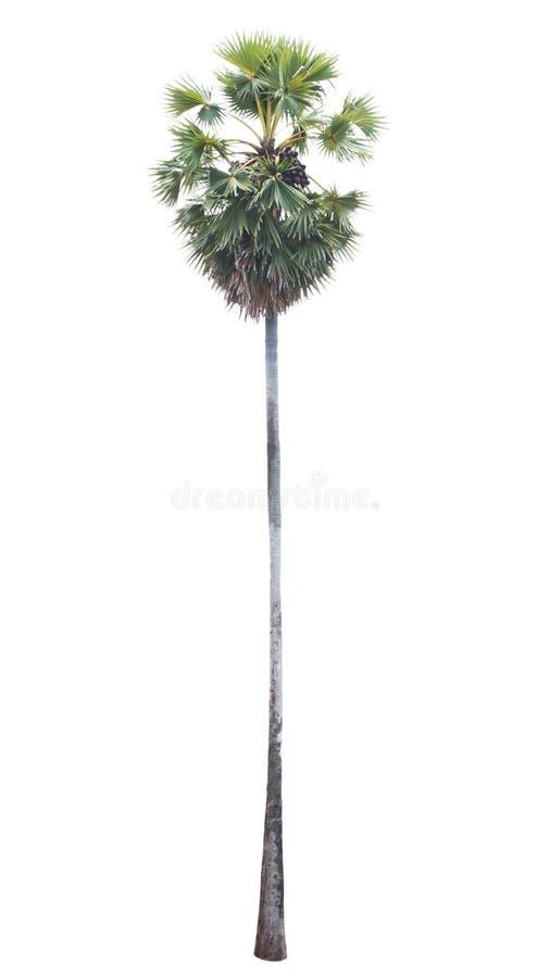 Palme getrennt auf weißem Hintergrund stockbilder