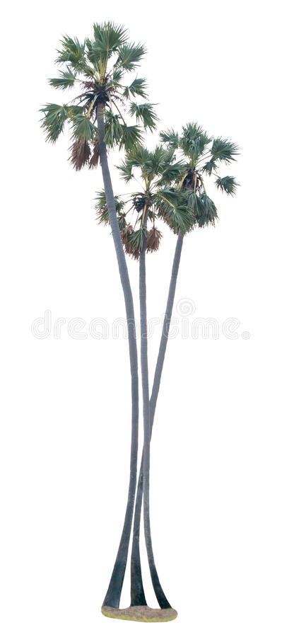 Palme getrennt auf weißem Hintergrund stockfotos