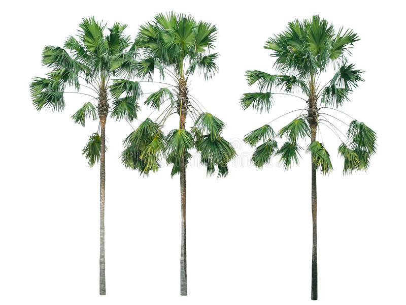Palme getrennt auf weißem Hintergrund stockfoto