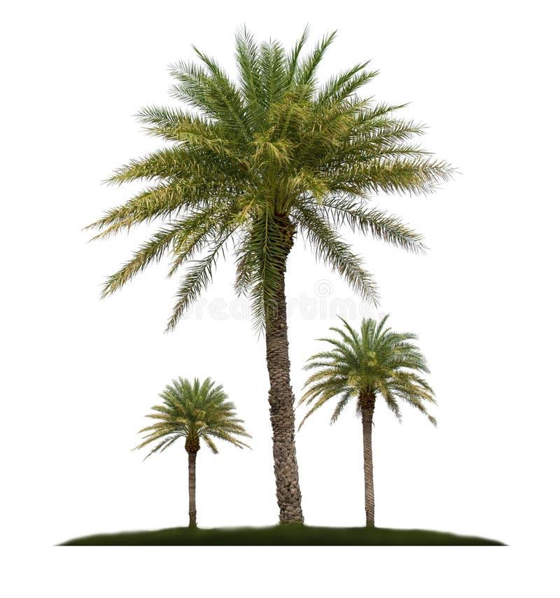 Palme getrennt auf wei?em Hintergrund lizenzfreies stockbild