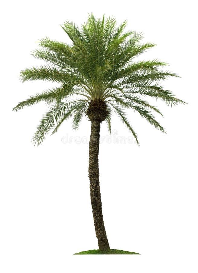 Palme getrennt auf wei?em Hintergrund lizenzfreie stockfotos