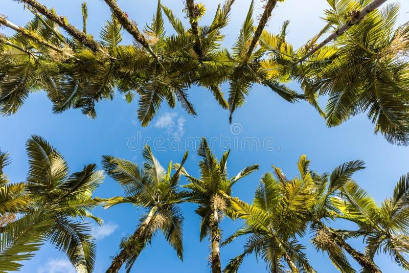 Palme imperiali al parco di Malwee Jaragua fa Sul, Santa Catarina immagini stock libere da diritti