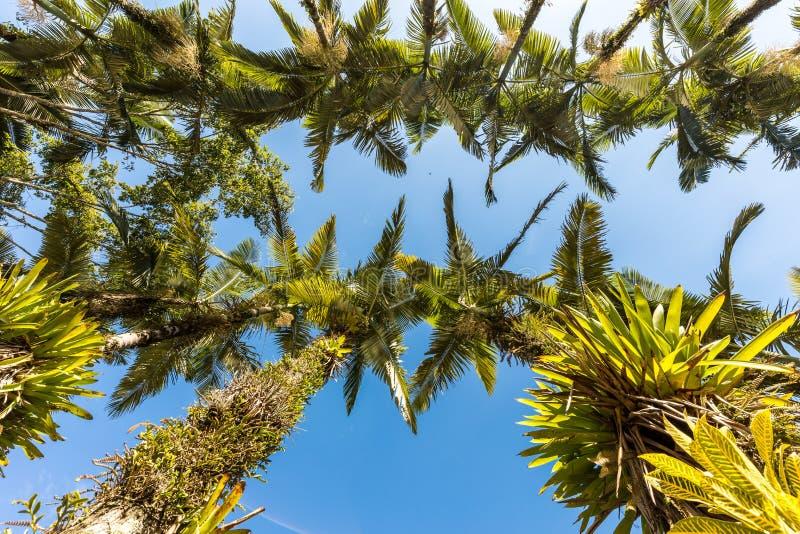 Palme imperiali al parco di Malwee Jaragua fa Sul, Santa Catarina fotografia stock libera da diritti