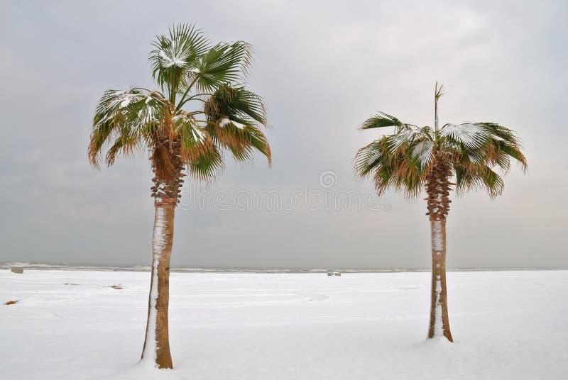 Palme in inverno immagini stock