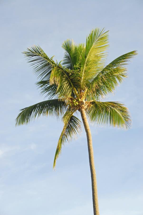 Palme (Kokosnuss) lizenzfreies stockbild