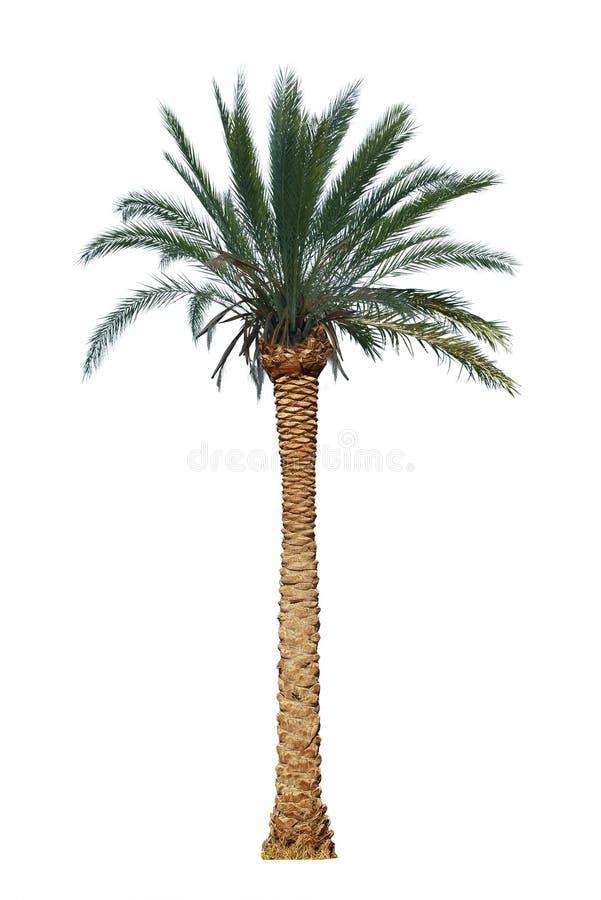 Palme lokalisiert lizenzfreie stockfotos