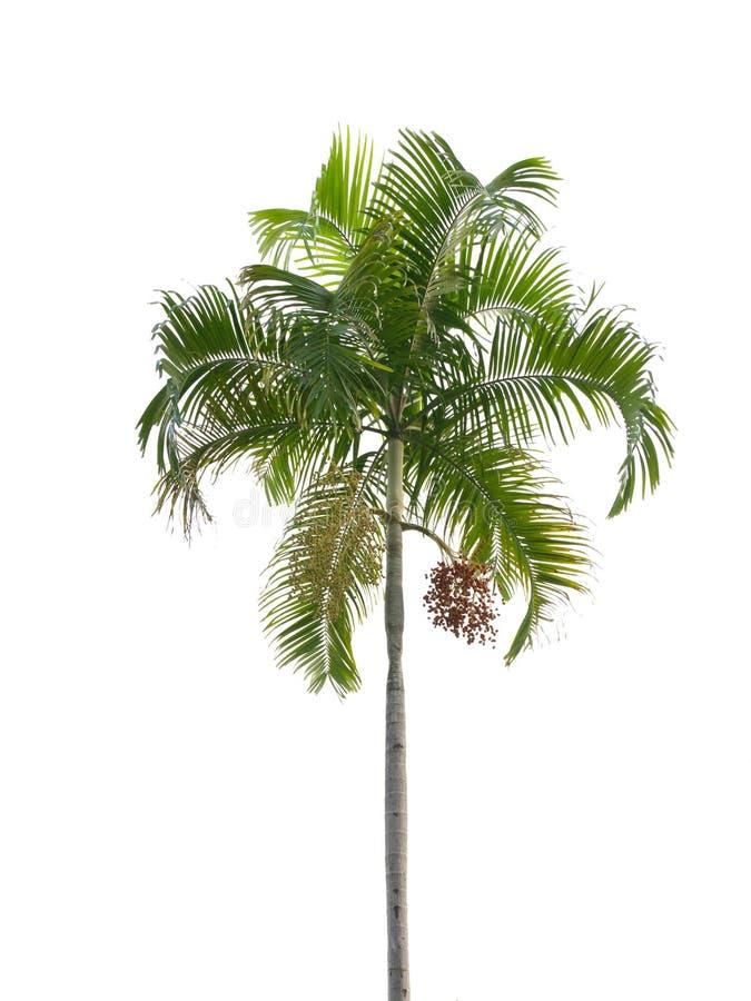 Palme lokalisiert auf Weiß stockfoto