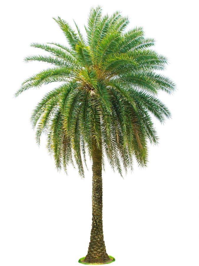Palme lokalisiert auf weißem Hintergrund stockfoto