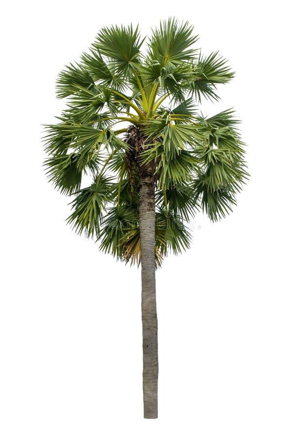 Palme lokalisiert auf weißem Hintergrund stockbilder